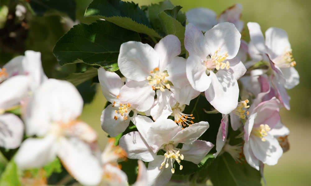 Erleben Sie den Frühling in Südtirol und besuchen Sie das Apfelblütenfest in Natz